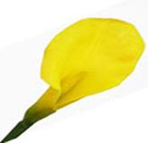 Flor Calla