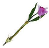 Flor Orquidea Hoja
