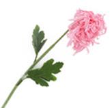 Flor Crisantemo Rosada
