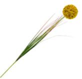 Flor Allium Cepa Amarilla