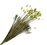 Rama Romulea Rosea Verde