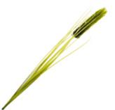 Rama Mijo Silvestre Verde