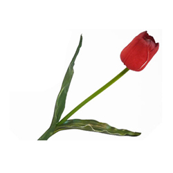 Flor Tulipán